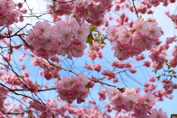 kirschblüte Wie sich Saftkonzentrat und Direktsaft voneinander unterscheiden